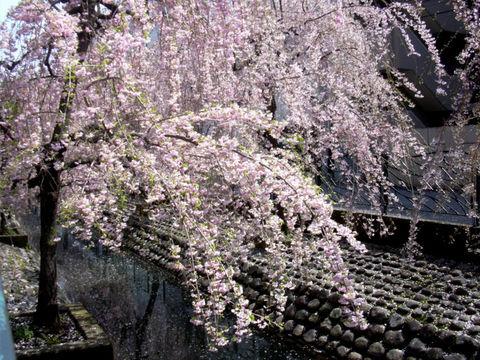 0406_小川の桜.jpg