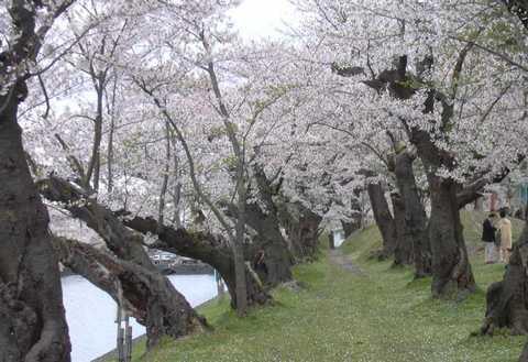 0429_桜.jpg